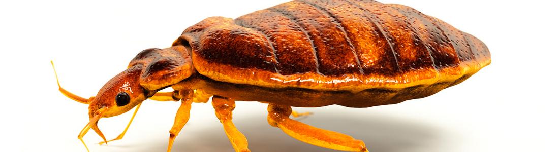 Bed Bugs - Unipest - Pest Control in Santa Clarita