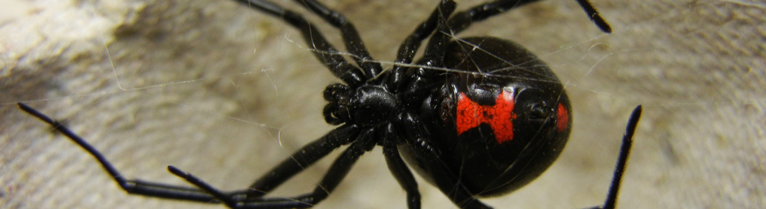 Black widow - Unipest - Pest Control in Santa Clarita