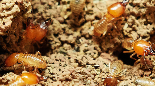 Pest Control In Santa Clarita: Skip Fumigation For The Treatment Of Drywood Termites