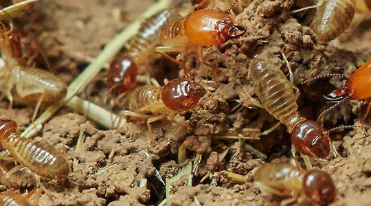 For Organic Termite Control In Santa Clarita, Unipest's Orange Oil Gets The Job Done Right