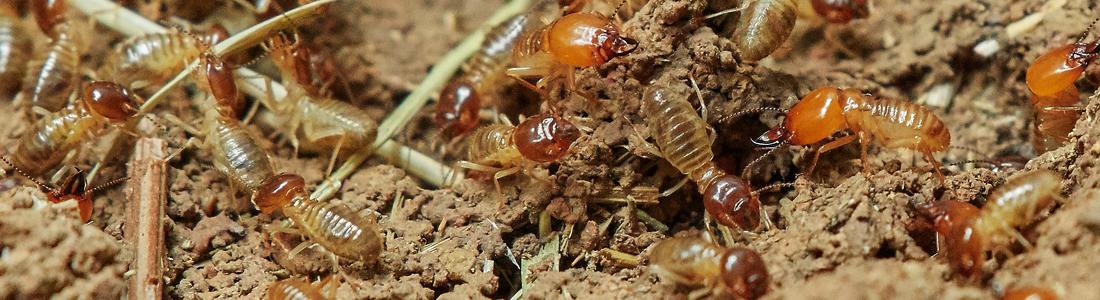 Termites - Unipest - Pest Control in Santa Clarita