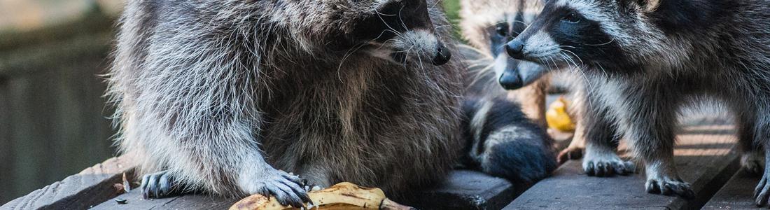Raccoon - UNIPEST - Santa Clarita Pest Control