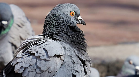 Pest Control In Santa Clarita: Solar Panels Can Harbor Pigeon Infestations