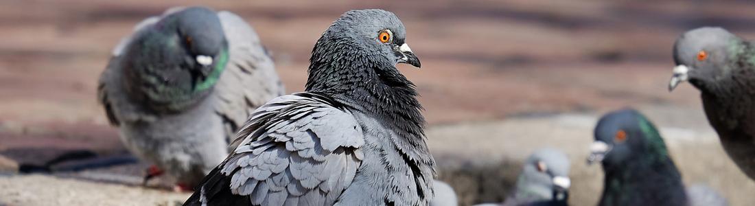 Pigeons - UNIPEST - Santa Clarita Pest Control
