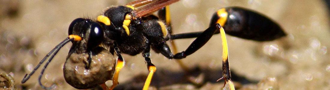 Mud Dauber Wasp - UNIPEST Pest Control