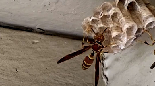 Exterminate Paper Wasps With DIY Tips From Santa Clarita Pest Control Company (VIDEO)