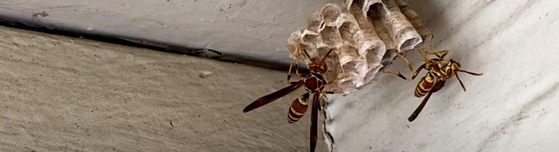 Paper Wasps - UNIPEST - Santa Clarita Pest Control
