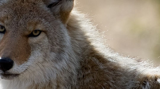 Unipest's 'Pest Talk' Covers Most Aggressive Coyote Ever Encountered By Wildlife Removal Expert