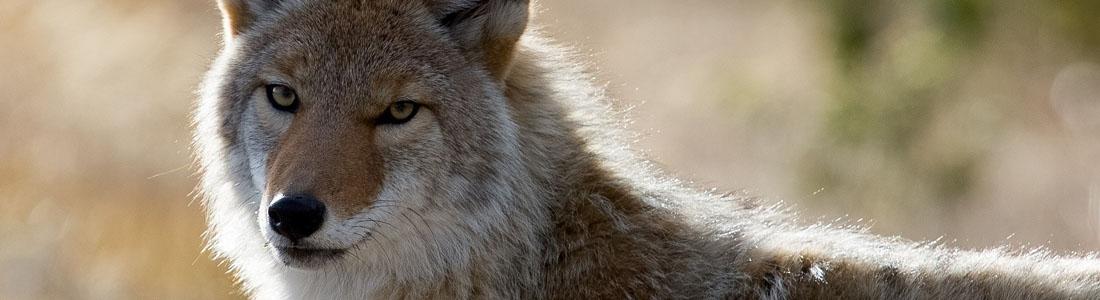 Coyote Removal - Unipest Santa Clarita