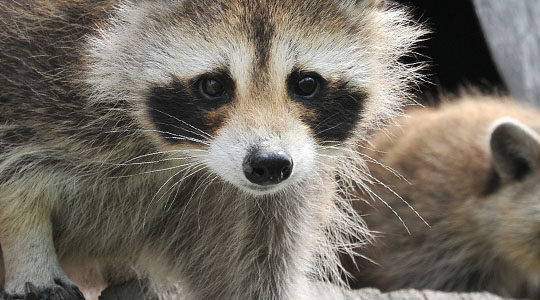 Tips For Trapping Raccoons With Unipest: Pest Control In Santa Clarita