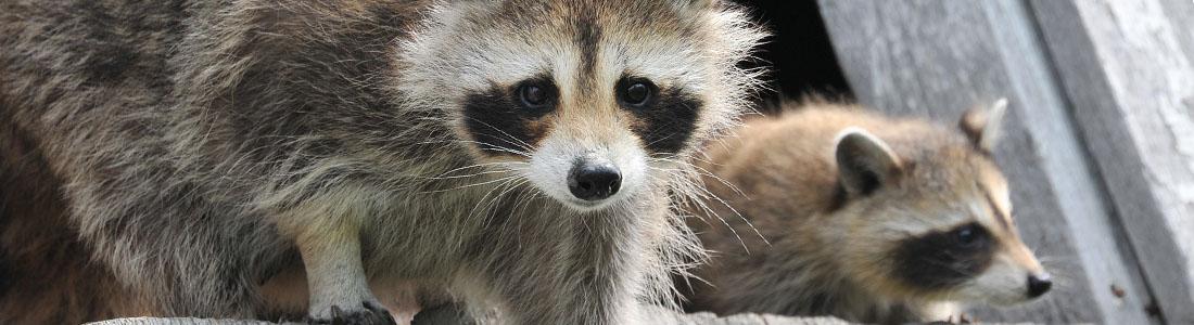 Raccoon - UNIPEST - Pest Control