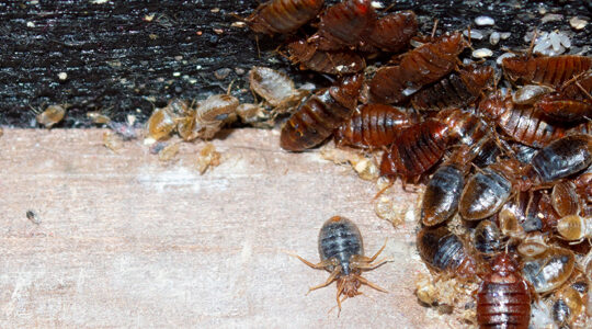 Defeating Bed Bugs With Eco-Friendly And Organic Heat Treatment