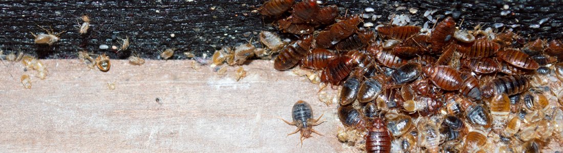 Unipest Pest Control - Bed Bug