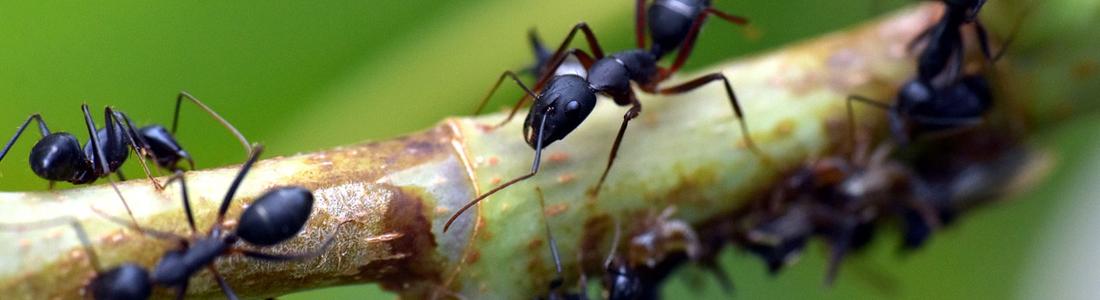Unipest - Ants